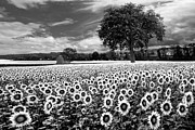 Debra and Dave Vanderlaan - Sunflowers in Black and White