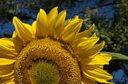 Jerry McElroy - Sunrise Sunflower