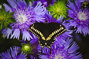 Blooms  Butterflies Framed Prints - Swallowtail and Astor Framed Print by Debra Crank