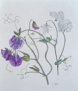 Botanical Paintings - Sweet Pea by Ruth Hall