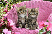 Cute Kitten Digital Art Posters - Tabby Kittens Poster by Greg Cuddiford