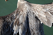Wingsdomain Art and Photography - Taking Flight With A Brown Pelican...