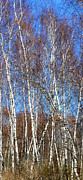 Anne Cameron Cutri - Tall White Birches