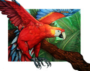Macaw Drawings - The Flight of the Macaw by Derrick Rathgeber