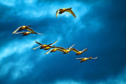 Swan In Flight Posters - The Flock Poster by Steve McKinzie