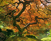 Timm Chapman - The Japanese Maple