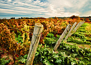 Vines Paintings - The Look of Fall in the Vineyard Sky by Elaine Plesser