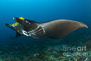Eagle Ray Posters - The Reef Manta Ray With Yellow Pilot Poster by Steve Jones