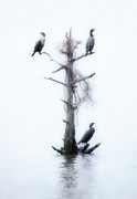 Dan Carmichael - Three Birds in a Tree - Outer Banks