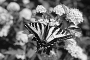 Jennie Marie Schell - Tiger Swallowtail Butterfly Black and...