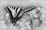 Jennie Marie Schell - Tiger Swallowtail Butterfly Monochrome