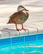 Feathered Photos - Time For a Dip II by Michelle Wiarda