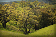Oak Trees Prints - To Comfort You Print by Laurie Search