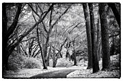 Live Art Framed Prints - Tree Lined Path Framed Print by John Rizzuto