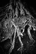 Tree Roots Photo Metal Prints - Tree roots black and white Metal Print by Matthias Hauser