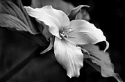Jennie Marie Schell - Trillium Wild Flower Black and White