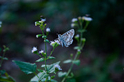 Tropical Checkered Skipper Prints - Tropical Checkered-Skipper Print by John Chaffee