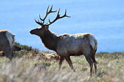 Wingsdomain Art and Photography - Tules Elks of Tomales Bay California -...