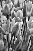 Jennie Marie Schell - Tulip Flower Garden in Black and White