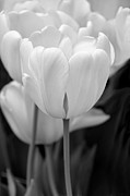 Jennie Marie Schell - Tulip Flowers in the Garden Monochrome