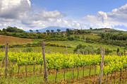 Vineyard Photos - Tuscany - Montalcino by Joana Kruse