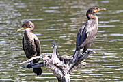 Phalacrocorax Auritus Photos - Two Double-Crested Cormorants by Kevin McCarthy