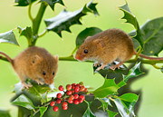 Mouse Prints - Two Harvest Mice at Christmas Print by Louise Heusinkveld