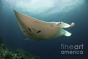 Oceanic View Framed Prints - Underside View Of A Giant Oceanic Manta Framed Print by Steve Jones