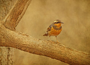 Feathered Creature Framed Prints - Varied Thrush on Branch Framed Print by Sandy Keeton