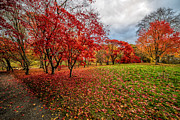 Japanese Maple Posters - View of Autumn Poster by Adrian Evans