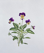 Tree Leaf Painting Prints - Viola Tricolor Print by Ruth Hall