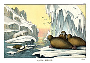 Arctic Drawings - Walrus by Splendid Art Prints