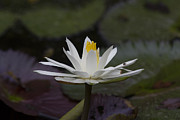 Water Lilly7 Fine Art Print by Charles Warren
