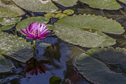Painterly Posters - Water Lily 1 Poster by Scott Campbell