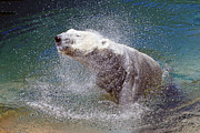 Zoo Pyrography Prints - Wet Polar Bear Print by Shoal Hollingsworth