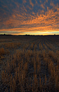 Wheat Posters - Wheat Stubble Sunset Poster by Mike  Dawson