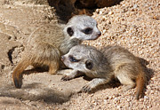 Meerkat Posters - Which Way Now - Baby Meerkats Poster by Margaret Saheed