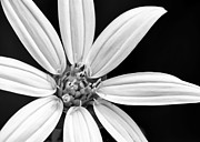 Florida Flower Posters - White and Black Flower Close Up Poster by Sabrina L Ryan