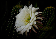 Saija  Lehtonen - White Echinopsis Bloom