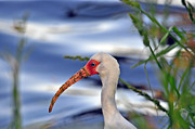 Ibis Metal Prints - White Ibis Close Up Metal Print by Al Powell Photography USA