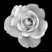 Jennie Marie Schell - White Rose Flower in Black and White