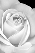 Jennie Marie Schell - White Rose in Black and White