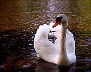 Swans... Photo Metal Prints - White Swan Metal Print by Rona Black