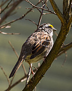 Barry Jones - White-Throated Sparrow