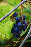 Grape Leaves Posters - Wild Grapes Poster by Edward Crestoni