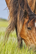Eat Free Prints - Wild Horse Grazing Print by Bob Decker