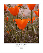 Poppies Field Digital Art - Wild Poppies Art Poster - California Collection  by Ben and Raisa Gertsberg