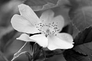 Jennie Marie Schell - Wild Rose Flower Monochrome