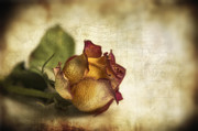 Texture Digital Art Prints - Wilted rose Print by Veikko Suikkanen