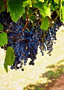 Canvas Wine Prints Posters - Wine Grapes Poster by Kristina Deane